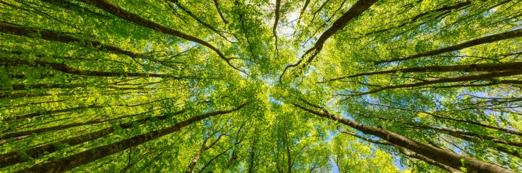 Looking up at the green tops of trees. Italy